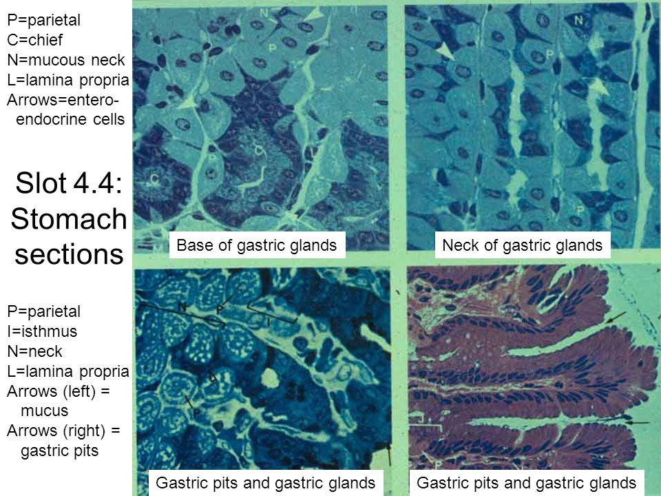 Slot 4.26: Meissner's plexus/Auerbach's plexus Muscularis mucosae Ganglion cells of Meissner's plexus Muscularis externa Ganglion cell of Auerbach's plexus