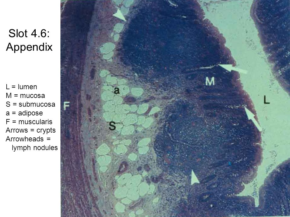 Slot 4.30: Jejunum (blood supply) V = villi S = submucosa F = muscularis externa P = serosa Arrow = Vessels run parallel with muscle fibers in inner circular layer of M.
