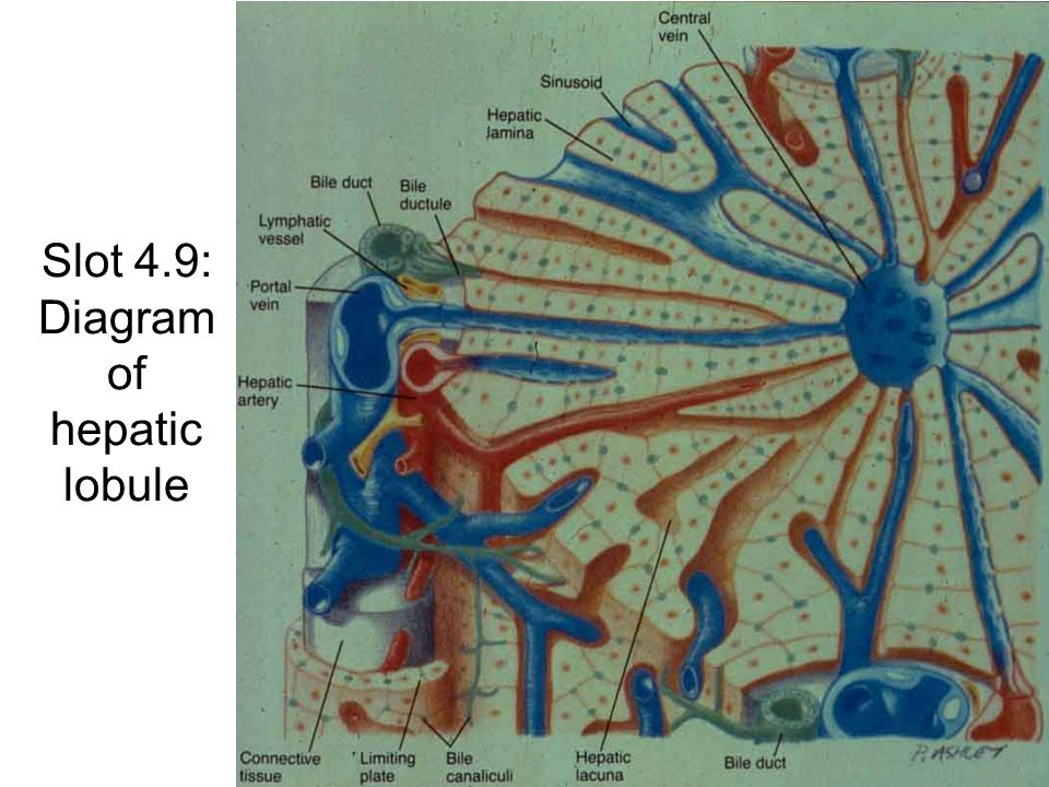 Slot 4.9: Diagram of hepatic lobule