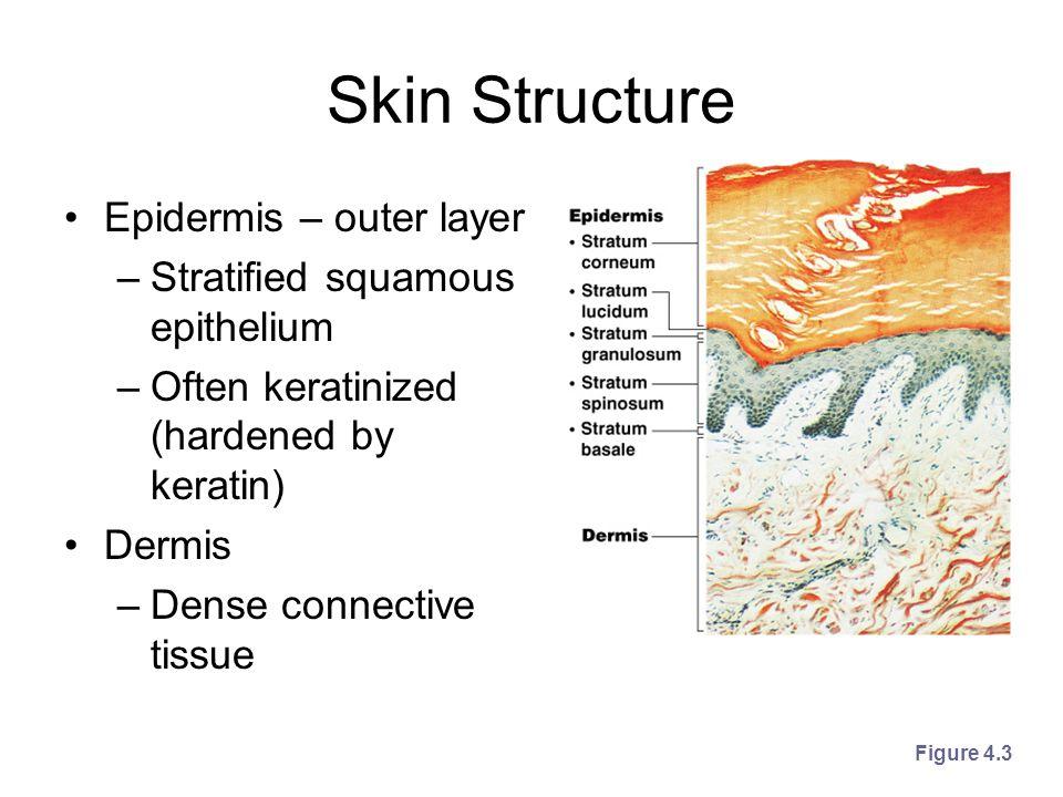 Skin Structure Epidermis – outer layer –Stratified squamous epithelium –Often keratinized (hardened by keratin) Dermis –Dense connective tissue Figure