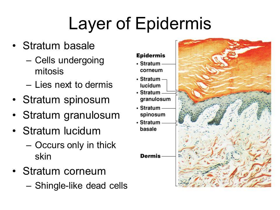 Layer of Epidermis Stratum basale –Cells undergoing mitosis –Lies next to dermis Stratum spinosum Stratum granulosum Stratum lucidum –Occurs only in t