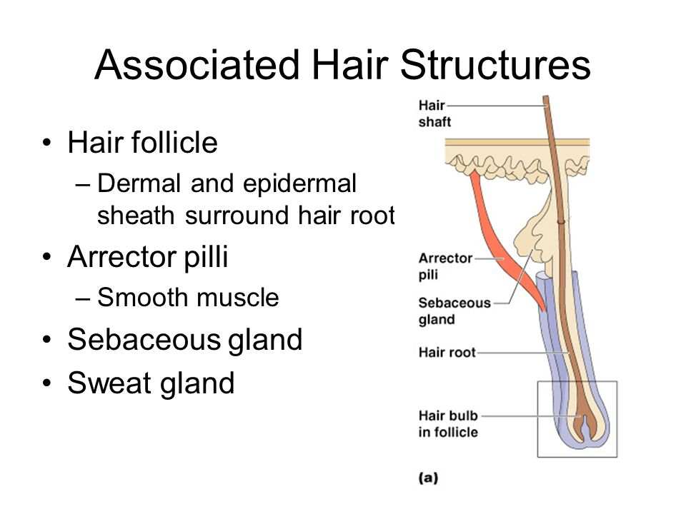 Associated Hair Structures Hair follicle –Dermal and epidermal sheath surround hair root Arrector pilli –Smooth muscle Sebaceous gland Sweat gland