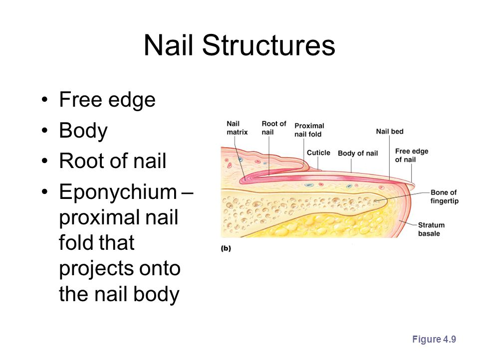 Nail Structures Free edge Body Root of nail Eponychium – proximal nail fold that projects onto the nail body Figure 4.9