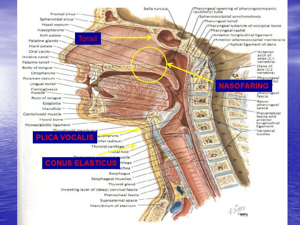 3 NASOFARING PLICA VOCALIS CONUS ELASTICUS Tonsil