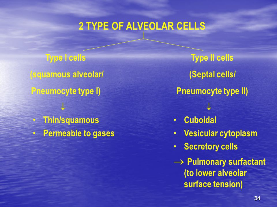 34 2 TYPE OF ALVEOLAR CELLS Type I cells (squamous alveolar/ Pneumocyte type I) Type II cells (Septal cells/ Pneumocyte type II)  Thin/squamous Permeable to gases  Cuboidal Vesicular cytoplasm Secretory cells  Pulmonary surfactant (to lower alveolar surface tension)