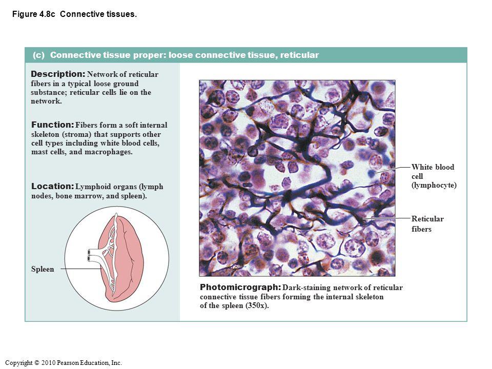 Copyright © 2010 Pearson Education, Inc.Figure 4.8d Connective tissues.