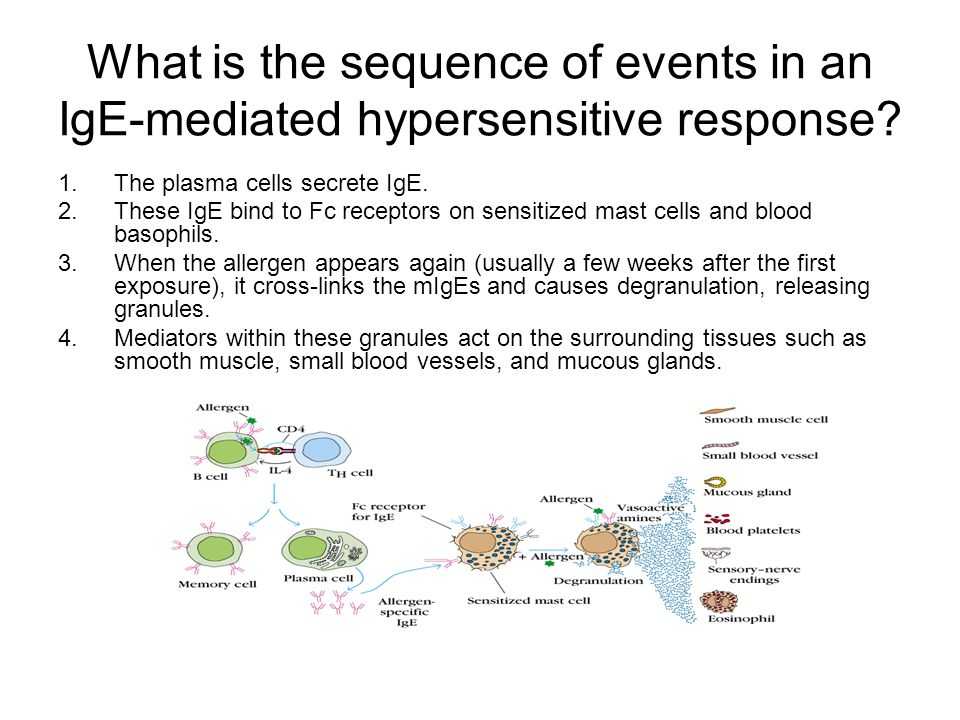 What is the sequence of events in an IgE-mediated hypersensitive response.