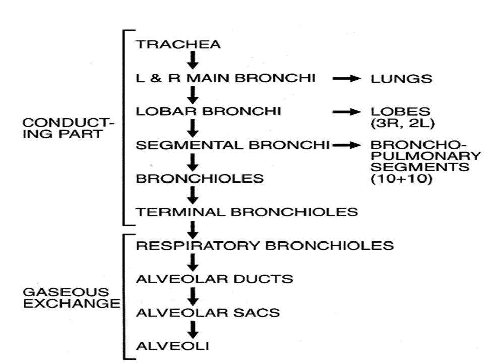 Alveolar Ducts and AlveolarSacs