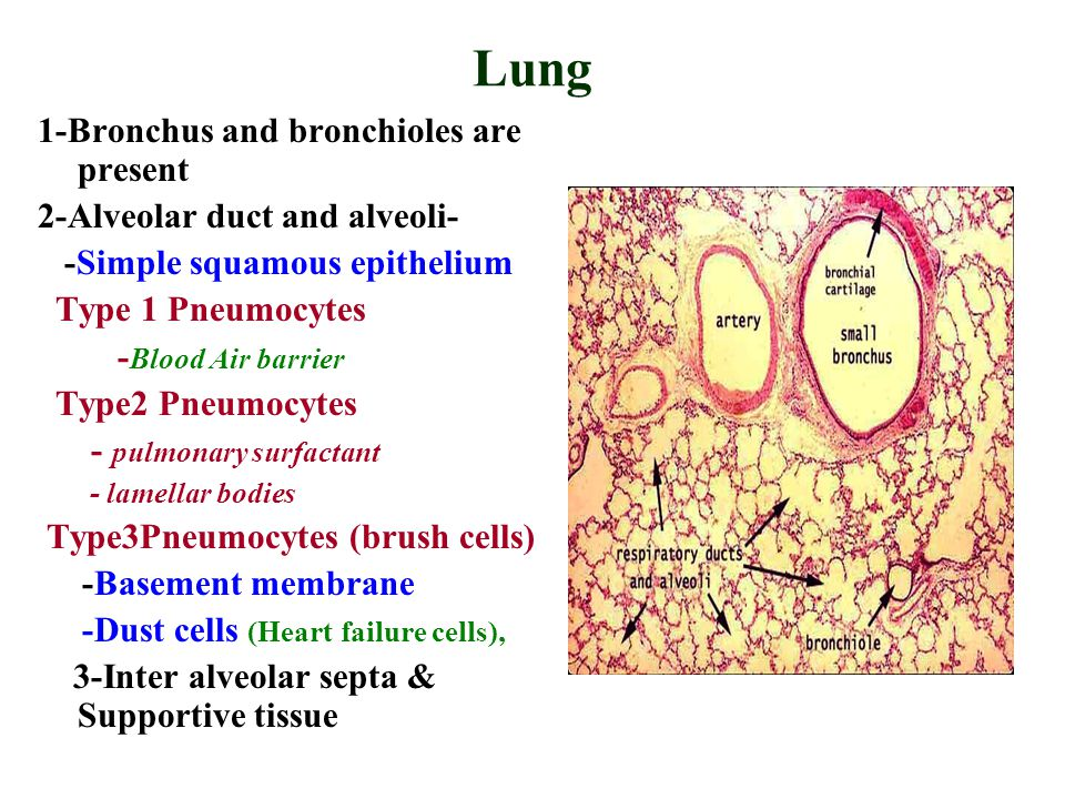 Lung 1-Bronchus and bronchioles are present 2-Alveolar duct and alveoli- -Simple squamous epithelium Type 1 Pneumocytes - Blood Air barrier Type2 Pneumocytes - pulmonary surfactant - lamellar bodies Type3Pneumocytes (brush cells) -Basement membrane -Dust cells (Heart failure cells), 3-Inter alveolar septa & Supportive tissue