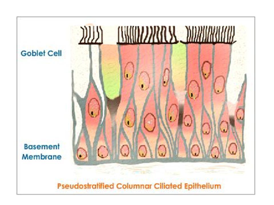 Cells in the Alveoli Type I Pneumocytes Type II Pneumocytes Macrophages or Dust cells