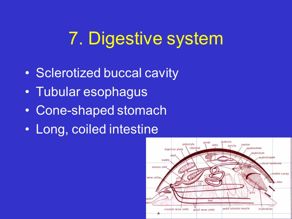 7. Digestive system Sclerotized buccal cavity Tubular esophagus Cone-shaped stomach Long, coiled intestine