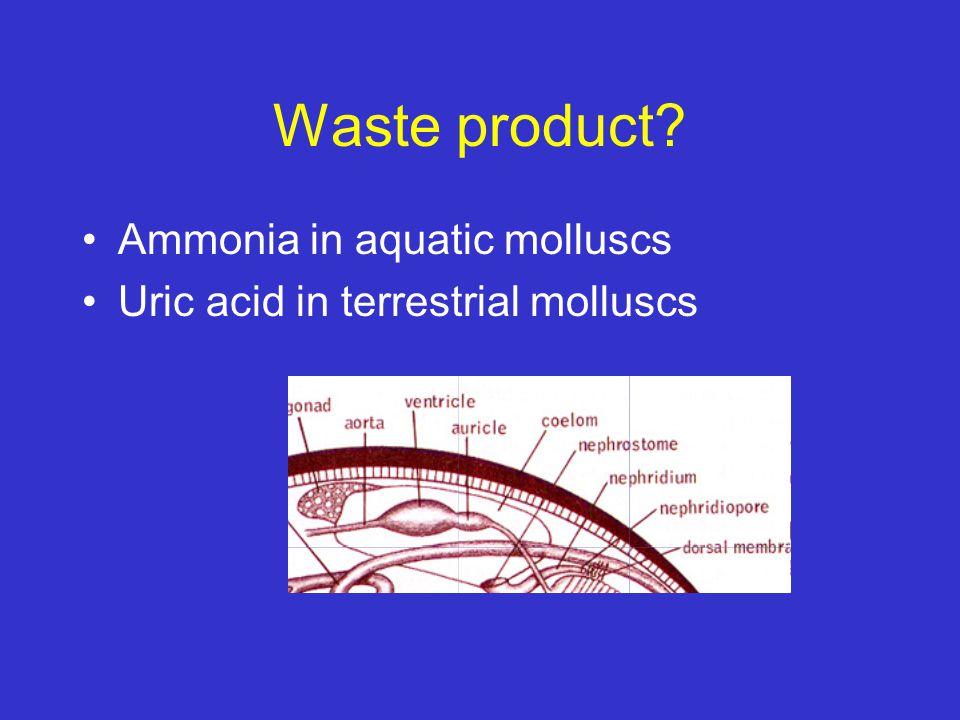Waste product? Ammonia in aquatic molluscs Uric acid in terrestrial molluscs