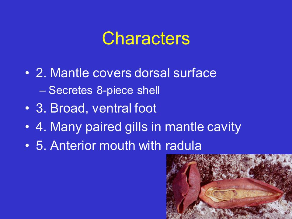 Characters 2. Mantle covers dorsal surface –Secretes 8-piece shell 3. Broad, ventral foot 4. Many paired gills in mantle cavity 5. Anterior mouth with