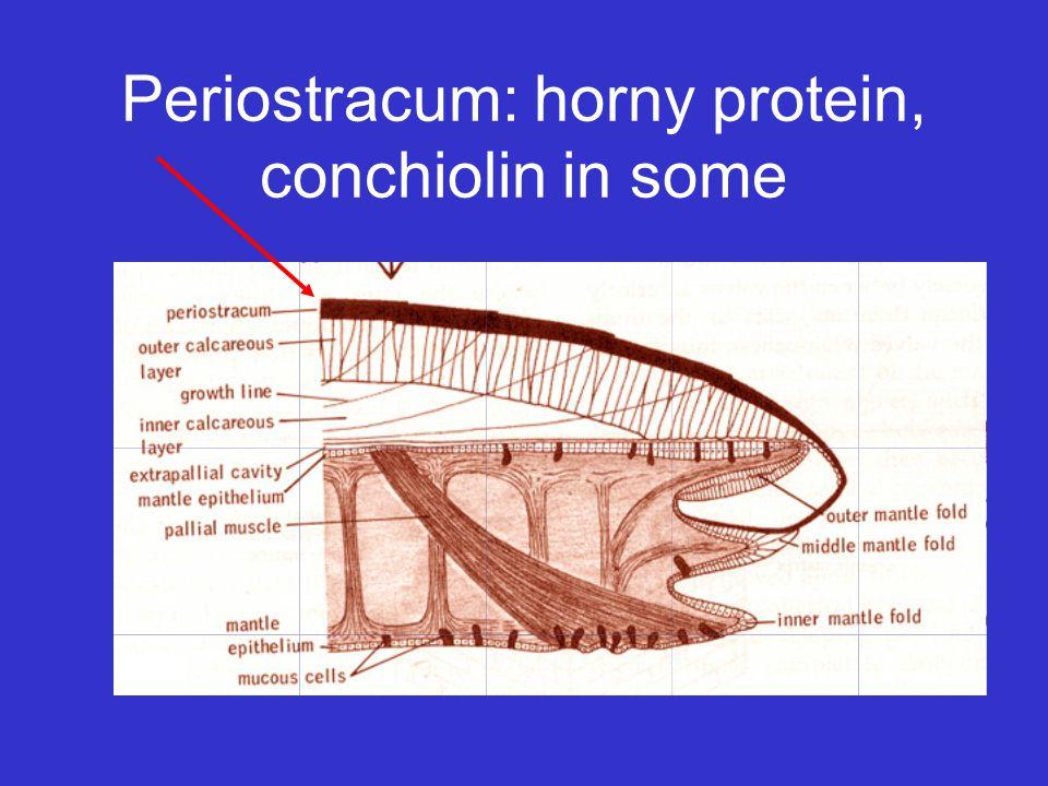 Periostracum: horny protein, conchiolin in some