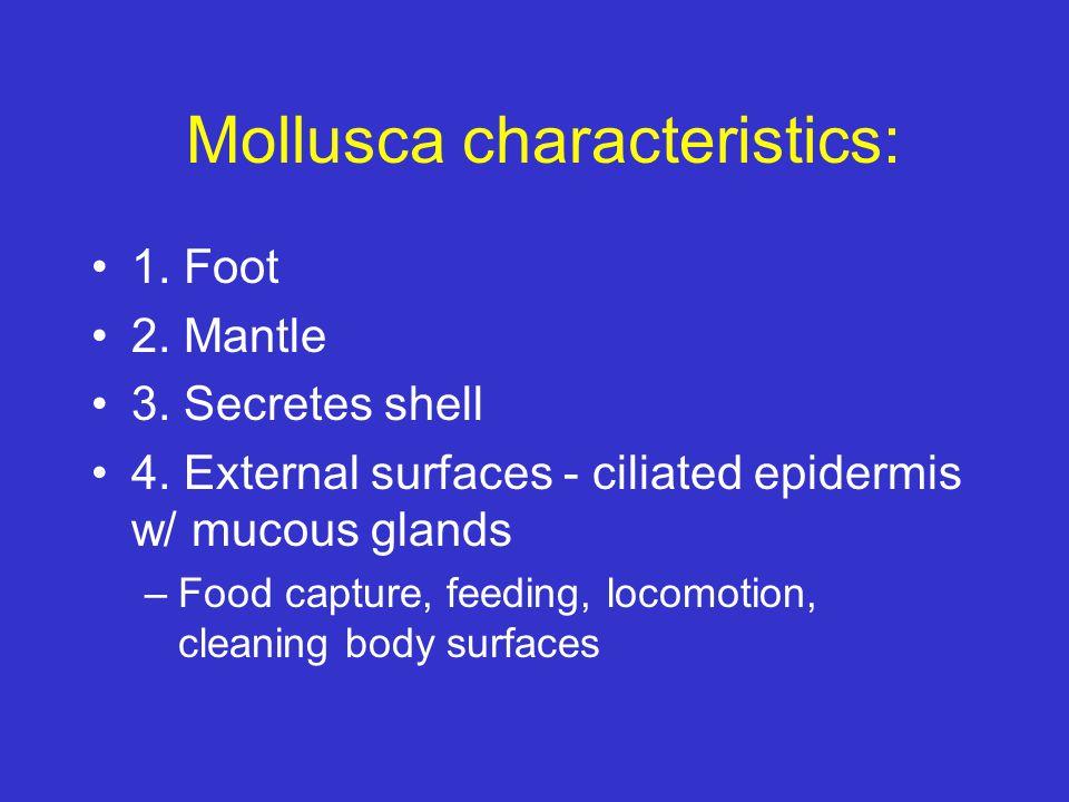 Mollusca characteristics: 1. Foot 2. Mantle 3. Secretes shell 4. External surfaces - ciliated epidermis w/ mucous glands –Food capture, feeding, locom