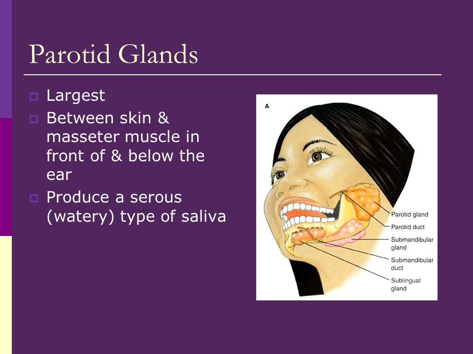 Parotid Glands  Largest  Between skin & masseter muscle in front of & below the ear  Produce a serous (watery) type of saliva