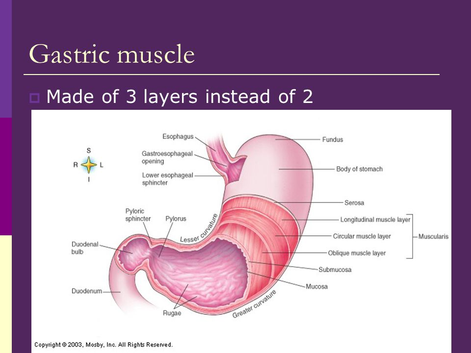 Gastric muscle  Made of 3 layers instead of 2