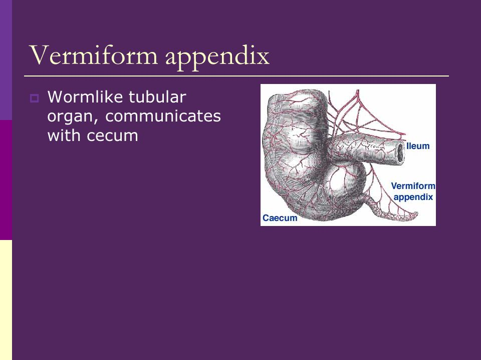 Vermiform appendix  Wormlike tubular organ, communicates with cecum