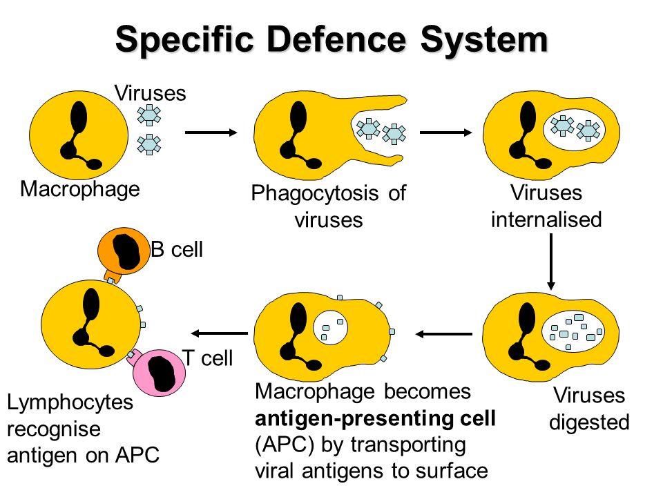 Specific Defence System Macrophage Viruses Phagocytosis of viruses Viruses internalised Viruses digested Macrophage becomes antigen-presenting cell (A