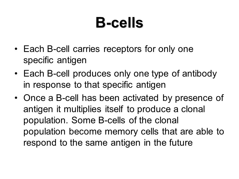 B-cells Each B-cell carries receptors for only one specific antigen Each B-cell produces only one type of antibody in response to that specific antige