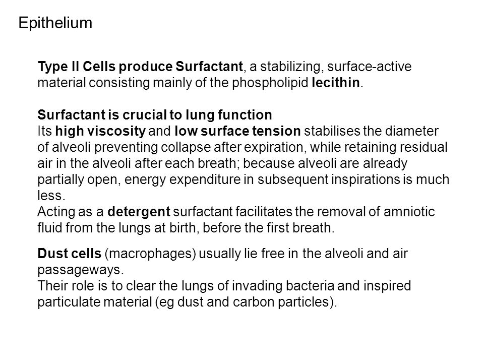 Type II Cells produce Surfactant, a stabilizing, surface-active material consisting mainly of the phospholipid lecithin. Surfactant is crucial to lung