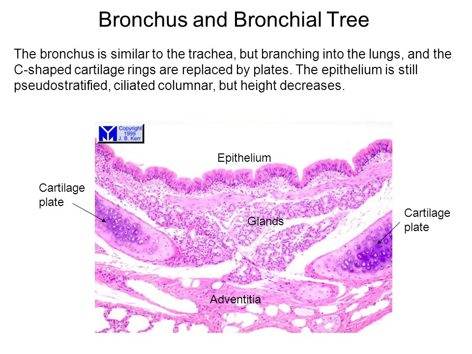 Bronchus and Bronchial Tree The bronchus is similar to the trachea, but branching into the lungs, and the C-shaped cartilage rings are replaced by pla