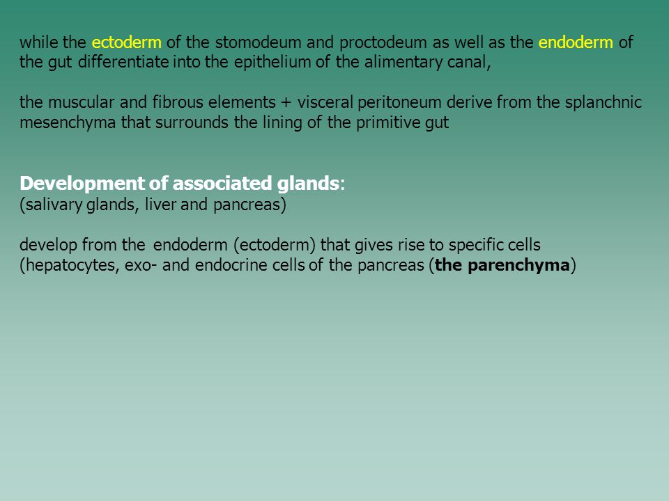 while the ectoderm of the stomodeum and proctodeum as well as the endoderm of the gut differentiate into the epithelium of the alimentary canal, the muscular and fibrous elements + visceral peritoneum derive from the splanchnic mesenchyma that surrounds the lining of the primitive gut Development of associated glands: (salivary glands, liver and pancreas) develop from the endoderm (ectoderm) that gives rise to specific cells (hepatocytes, exo- and endocrine cells of the pancreas (the parenchyma)
