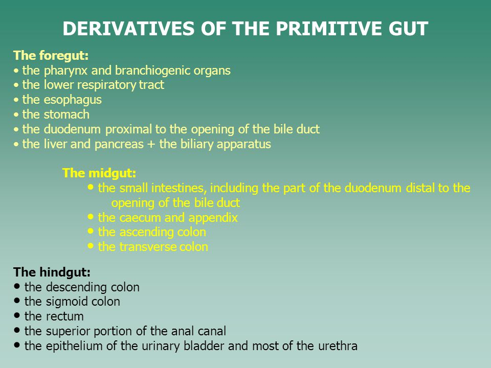 DERIVATIVES OF THE PRIMITIVE GUT The hindgut: the descending colon the sigmoid colon the rectum the superior portion of the anal canal the epithelium of the urinary bladder and most of the urethra The foregut: the pharynx and branchiogenic organs the lower respiratory tract the esophagus the stomach the duodenum proximal to the opening of the bile duct the liver and pancreas + the biliary apparatus The midgut: the small intestines, including the part of the duodenum distal to the opening of the bile duct the caecum and appendix the ascending colon the transverse colon