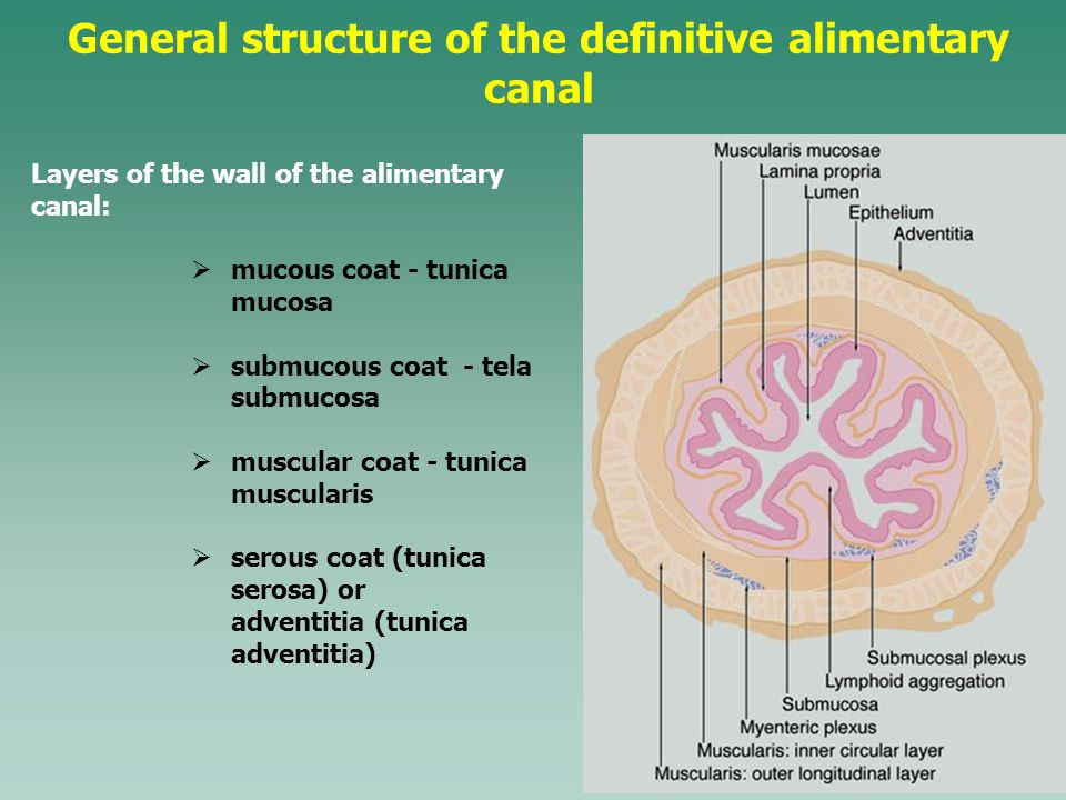 General structure of the definitive alimentary canal Layers of the wall of the alimentary canal:  mucous coat - tunica mucosa  submucous coat - tela