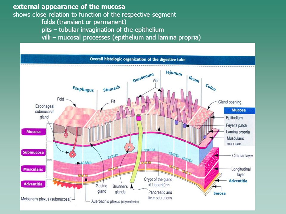 external appearance of the mucosa shows close relation to function of the respective segment folds (transient or permanent) pits – tubular invagination of the epithelium villi – mucosal processes (epithelium and lamina propria)
