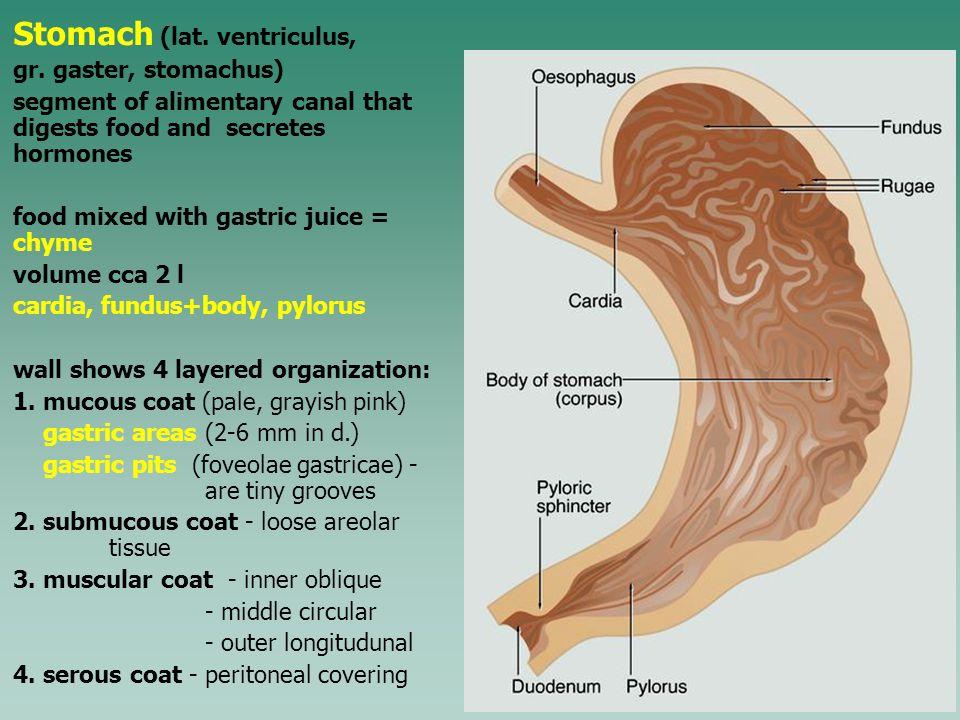 Stomach (lat. ventriculus, gr.