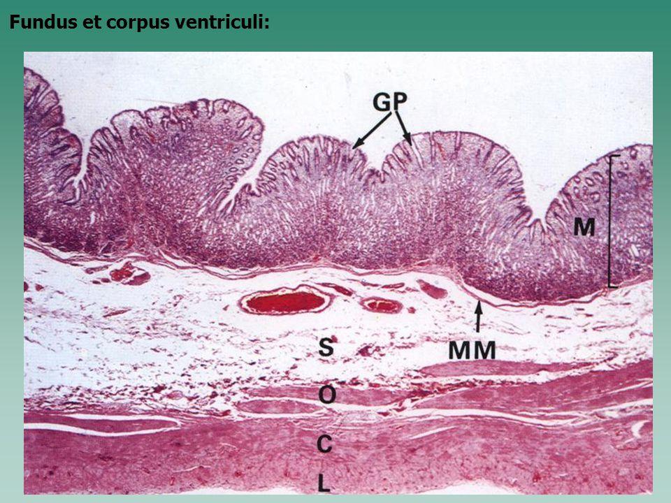 Fundus et corpus ventriculi: