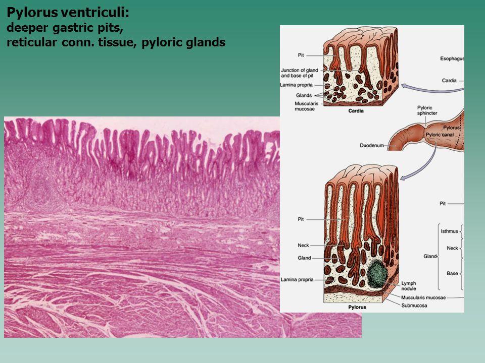 Pylorus ventriculi: deeper gastric pits, reticular conn. tissue, pyloric glands
