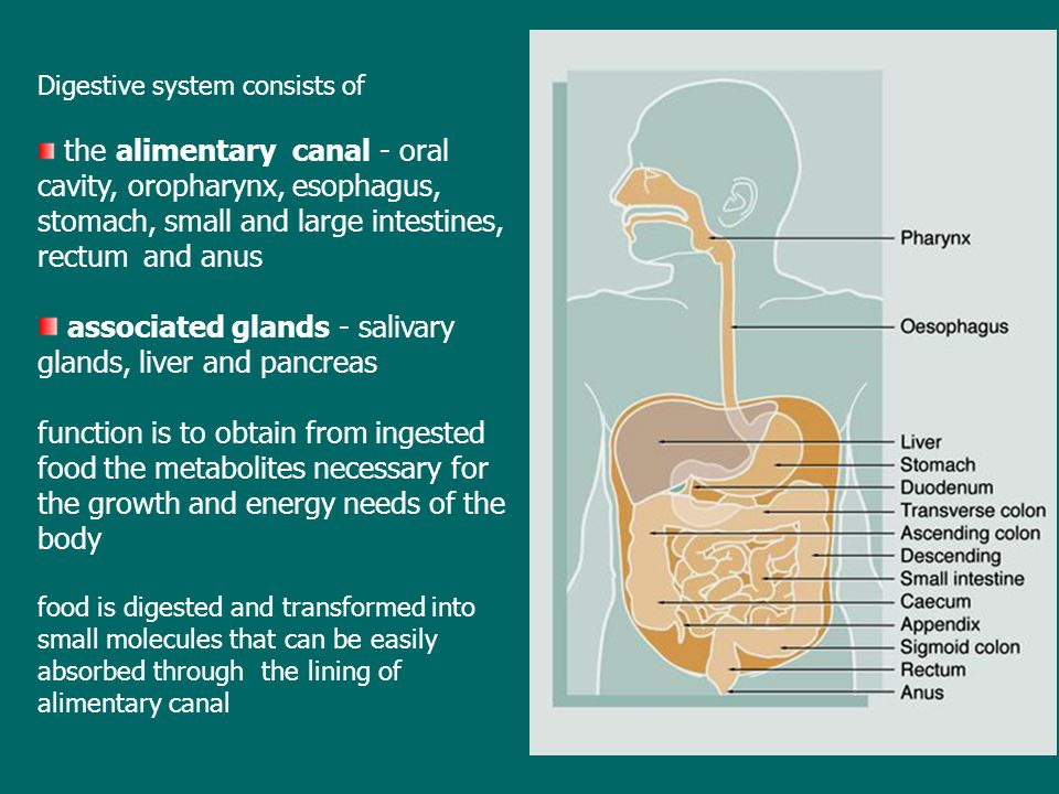 Digestive system consists of the alimentary canal - oral cavity, oropharynx, esophagus, stomach, small and large intestines, rectum and anus associated glands - salivary glands, liver and pancreas function is to obtain from ingested food the metabolites necessary for the growth and energy needs of the body food is digested and transformed into small molecules that can be easily absorbed through the lining of alimentary canal
