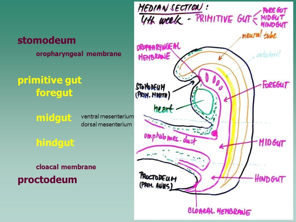stomodeum oropharyngeal membrane primitive gut foregut midgut hindgut cloacal membrane proctodeum ventral mesenterium dorsal mesenterium