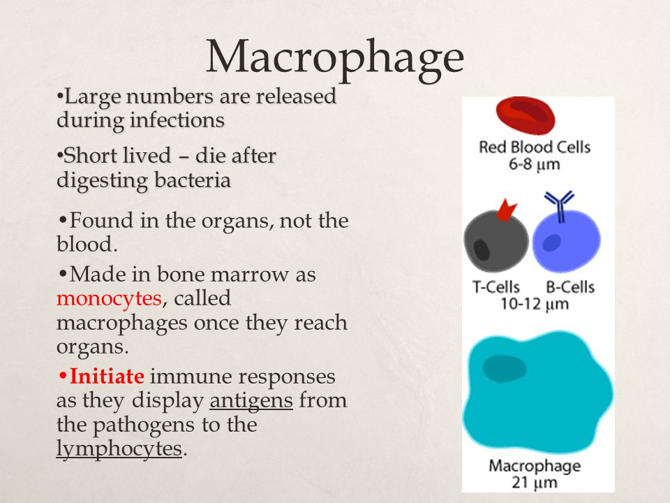Macrophage Large numbers are released during infections Large numbers are released during infections Short lived – die after digesting bacteria Short