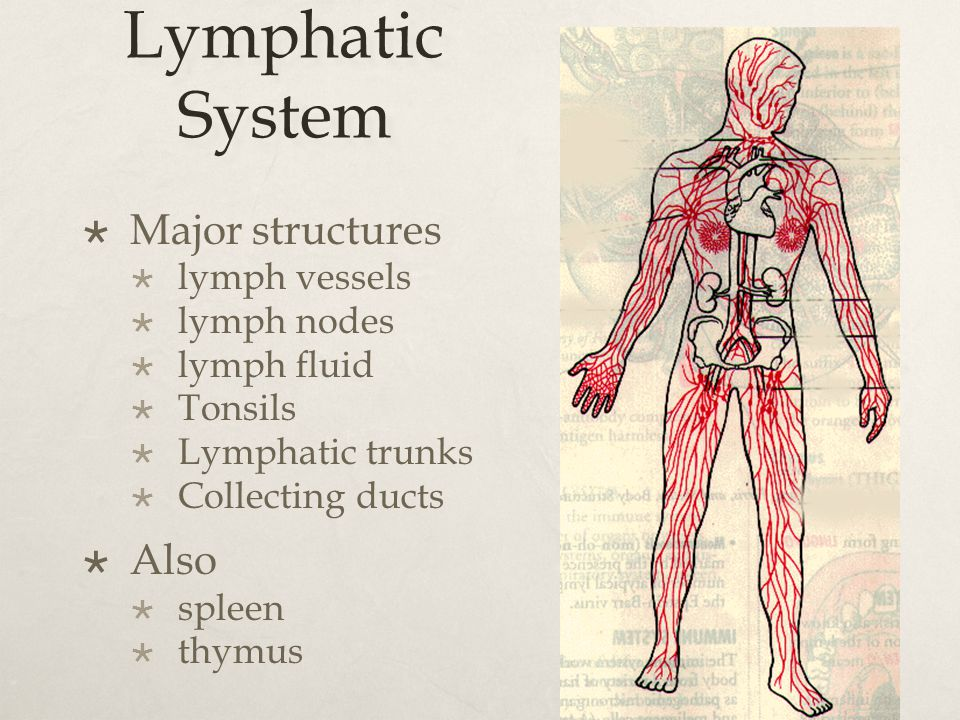 Lymphatic System  Major structures  lymph vessels  lymph nodes  lymph fluid  Tonsils  Lymphatic trunks  Collecting ducts  Also  spleen  thym