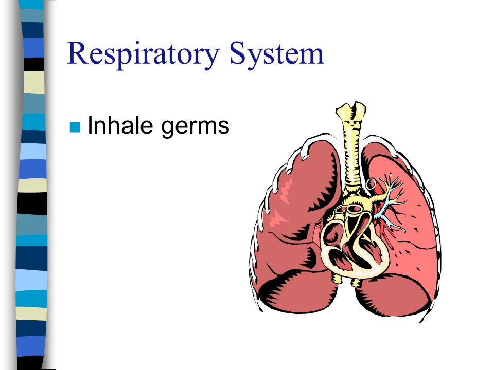 Respiratory System n Inhale germs