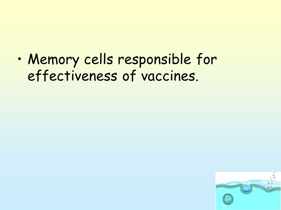 Memory cells responsible for effectiveness of vaccines.