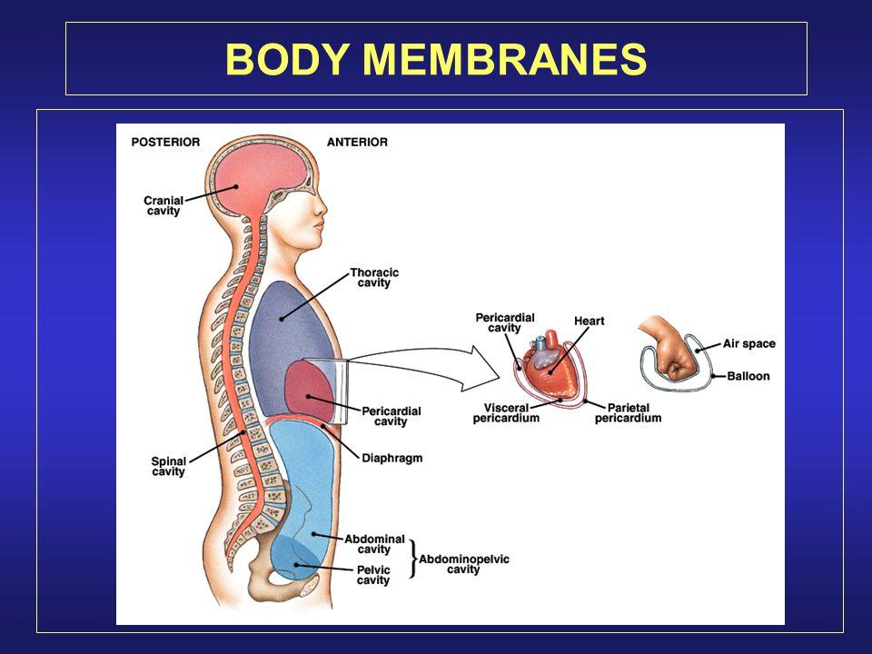 BODY MEMBRANES