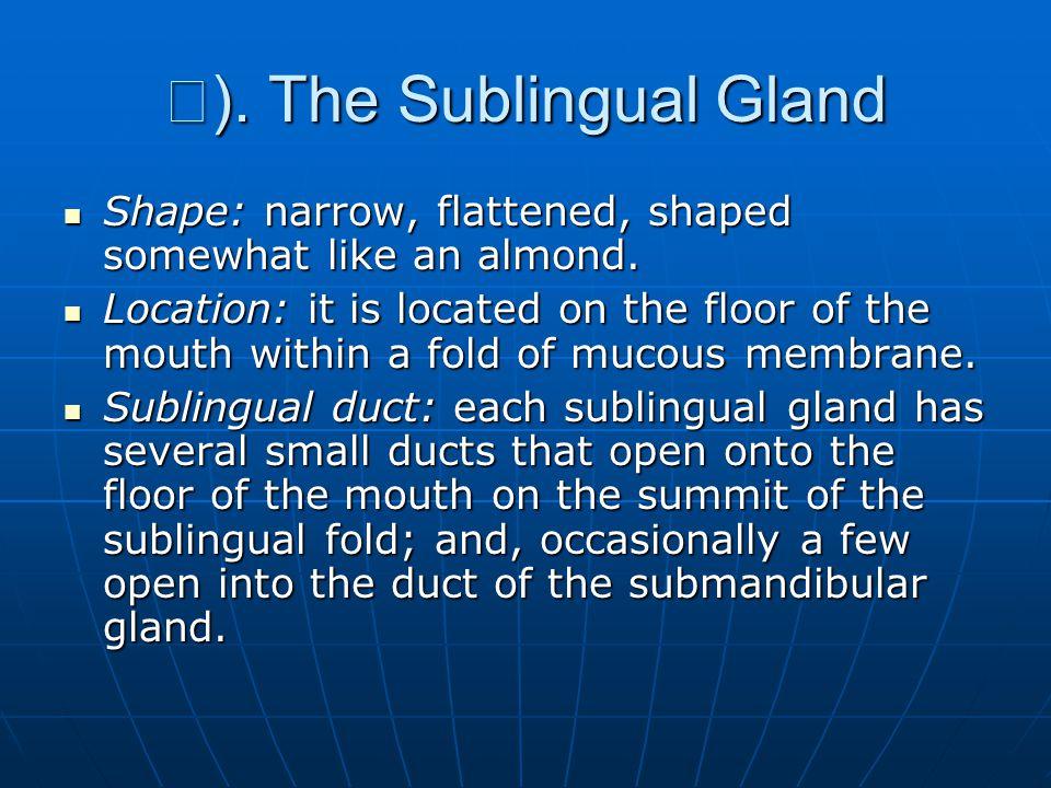 Ⅲ ).The Sublingual Gland Shape: narrow, flattened, shaped somewhat like an almond.