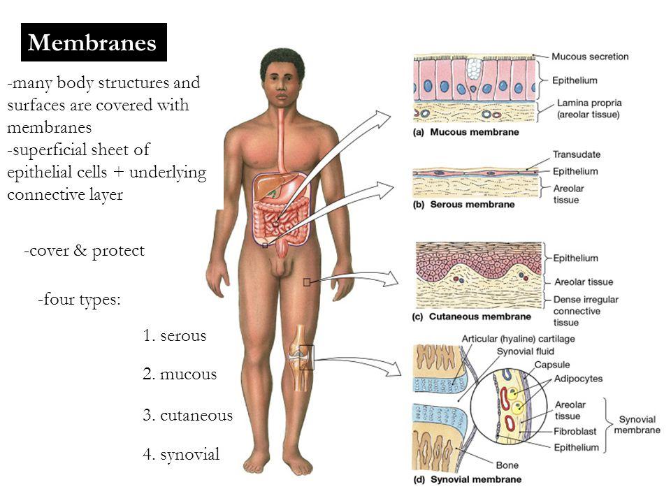 Accessory Structures Hair follicles Sweat glands Sebaceous/Oil glands Nails