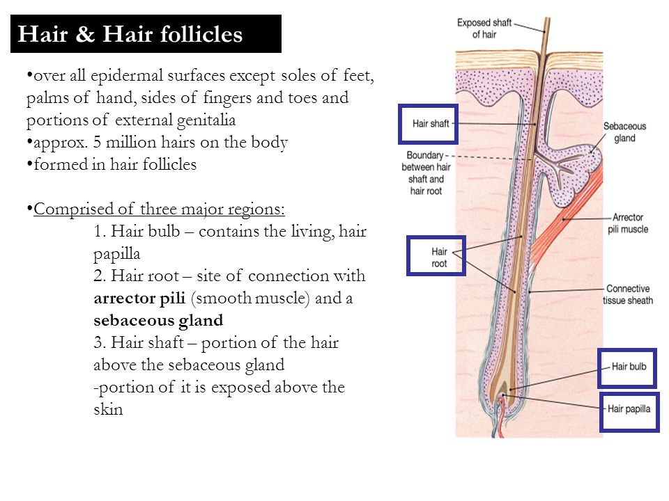 Hair & Hair follicles over all epidermal surfaces except soles of feet, palms of hand, sides of fingers and toes and portions of external genitalia ap