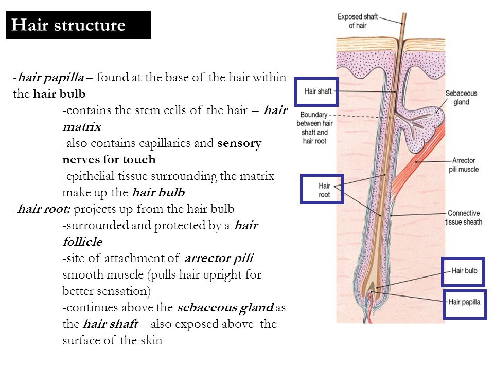 Hair structure -hair papilla – found at the base of the hair within the hair bulb -contains the stem cells of the hair = hair matrix -also contains ca