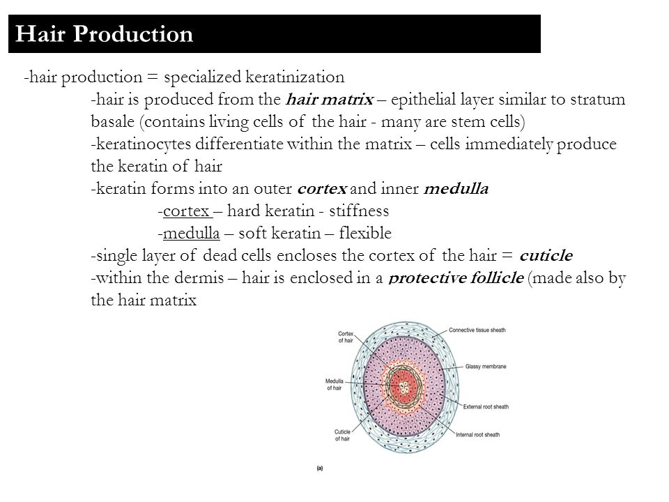 -hair production = specialized keratinization -hair is produced from the hair matrix – epithelial layer similar to stratum basale (contains living cel