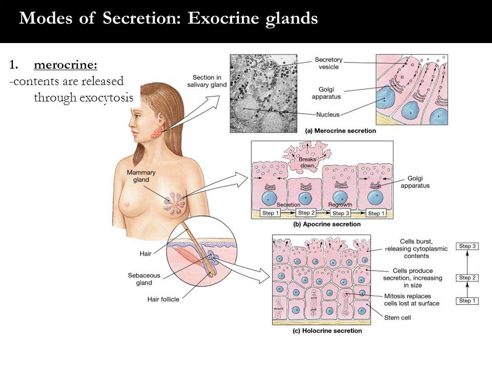 Modes of Secretion: Exocrine glands 1.merocrine: -contents are released through exocytosis