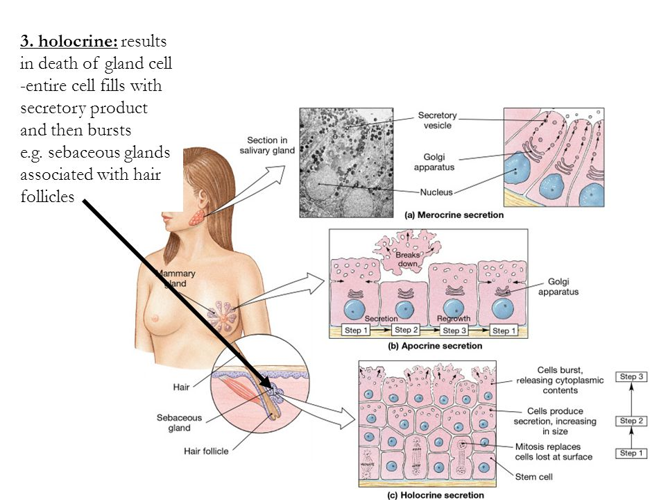 3. holocrine: results in death of gland cell -entire cell fills with secretory product and then bursts e.g. sebaceous glands associated with hair foll