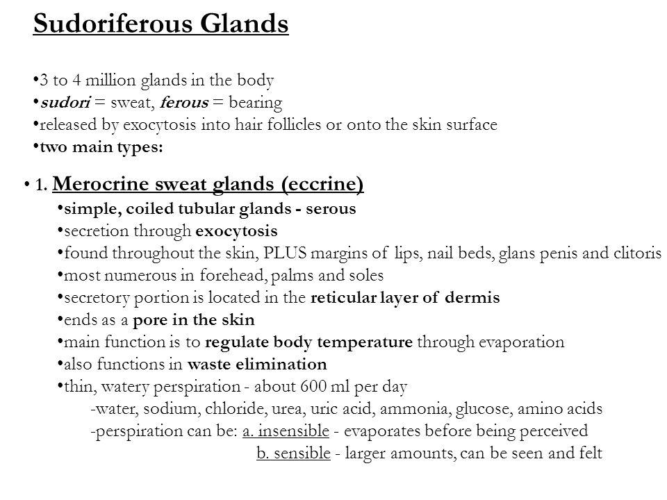 1. Merocrine sweat glands (eccrine) simple, coiled tubular glands - serous secretion through exocytosis found throughout the skin, PLUS margins of lip