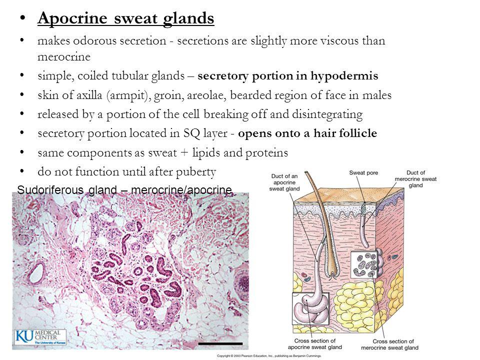 Sudoriferous gland – merocrine/apocrine Apocrine sweat glands makes odorous secretion - secretions are slightly more viscous than merocrine simple, co