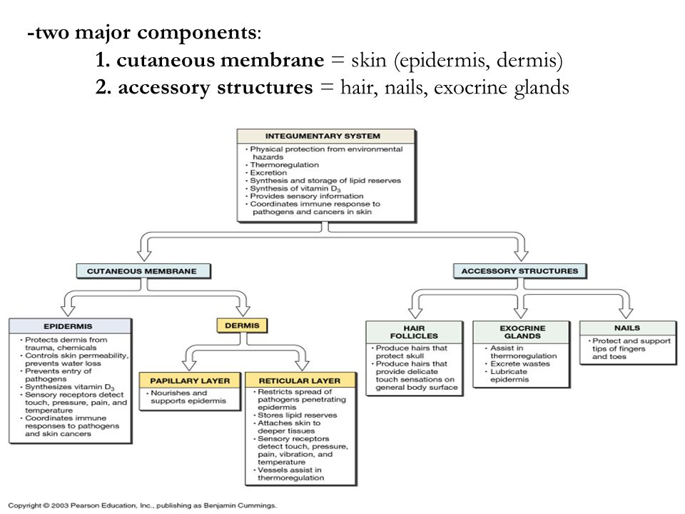 -two major components: 1. cutaneous membrane = skin (epidermis, dermis) 2. accessory structures = hair, nails, exocrine glands